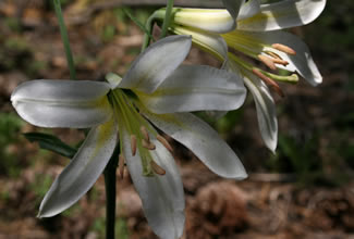 Closeup of Washington Lily